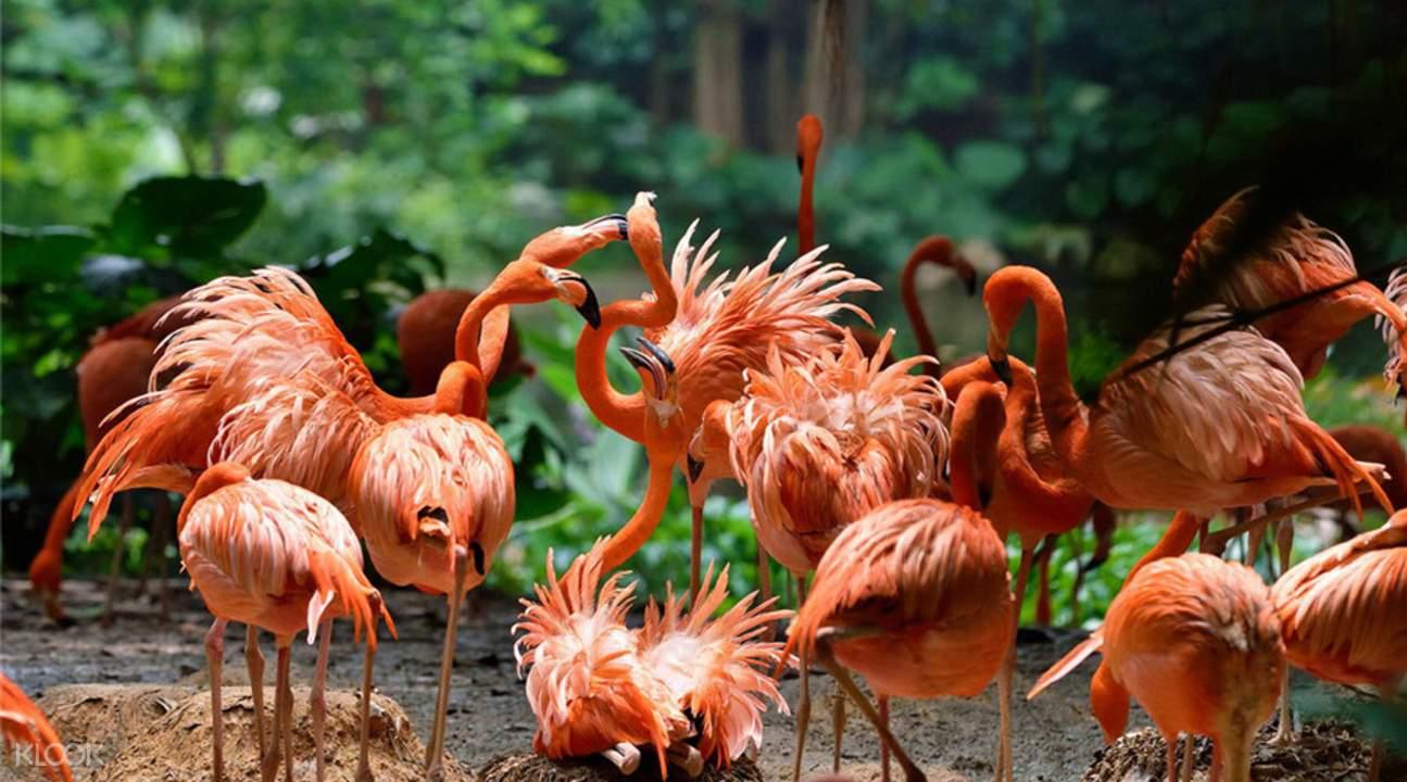 长隆野生动物世界共繁殖火烈鸟1000多只,是大型的火烈鸟人工饲养种群